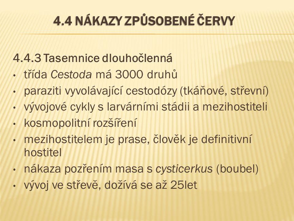 4.4 NÁKAZY ZPŮSOBENÉ ČERVY 4.4.3 Tasemnice dlouhočlenná třída Cestoda má 3000 druhů paraziti vyvolávající cestodózy (tkáňové, střevní) vývojové cykly s larvárními stádii a mezihostiteli kosmopolitní rozšíření mezihostitelem je prase, člověk je definitivní hostitel nákaza pozřením masa s cysticerkus (boubel) vývoj ve střevě, dožívá se až 25let