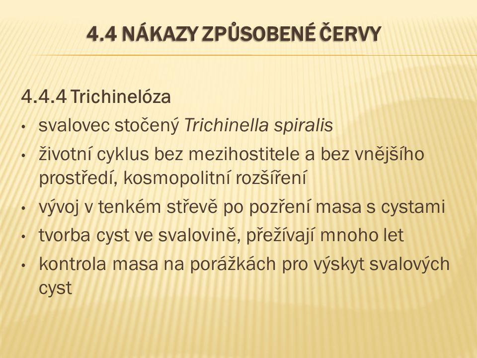4.4 NÁKAZY ZPŮSOBENÉ ČERVY 4.4.4 Trichinelóza svalovec stočený Trichinella spiralis životní cyklus bez mezihostitele a bez vnějšího prostředí, kosmopolitní rozšíření vývoj v tenkém střevě po pozření masa s cystami tvorba cyst ve svalovině, přežívají mnoho let kontrola masa na porážkách pro výskyt svalových cyst