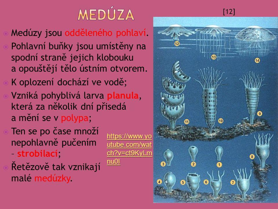  Medúzy jsou odděleného pohlaví.  Pohlavní buňky jsou umístěny na spodní straně jejich klobouku a opouštějí tělo ústním otvorem.  K oplození docház