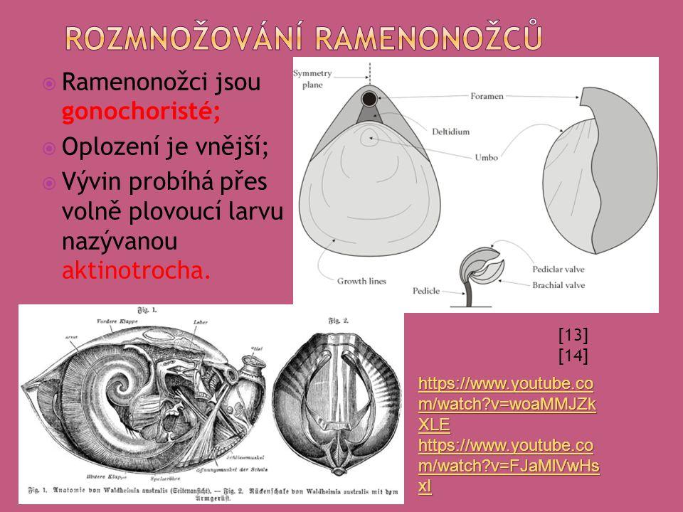  Ramenonožci jsou gonochoristé;  Oplození je vnější;  Vývin probíhá přes volně plovoucí larvu nazývanou aktinotrocha.