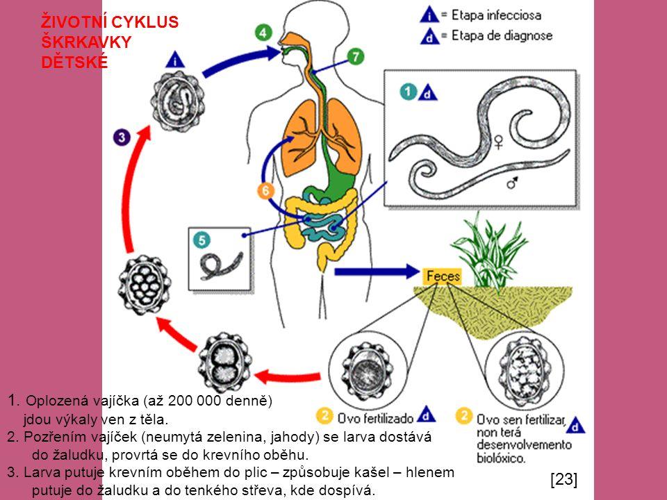 ŽIVOTNÍ CYKLUS ŠKRKAVKY DĚTSKÉ 1. Oplozená vajíčka (až 200 000 denně) jdou výkaly ven z těla. 2. Pozřením vajíček (neumytá zelenina, jahody) se larva