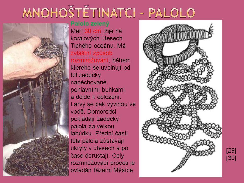 [29] [30] Palolo zelený Měří 30 cm, žije na korálových útesech Tichého oceánu.