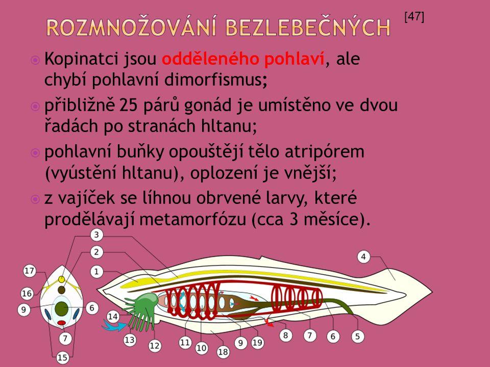  Kopinatci jsou odděleného pohlaví, ale chybí pohlavní dimorfismus;  přibližně 25 párů gonád je umístěno ve dvou řadách po stranách hltanu;  pohlavní buňky opouštějí tělo atripórem (vyústění hltanu), oplození je vnější;  z vajíček se líhnou obrvené larvy, které prodělávají metamorfózu (cca 3 měsíce).