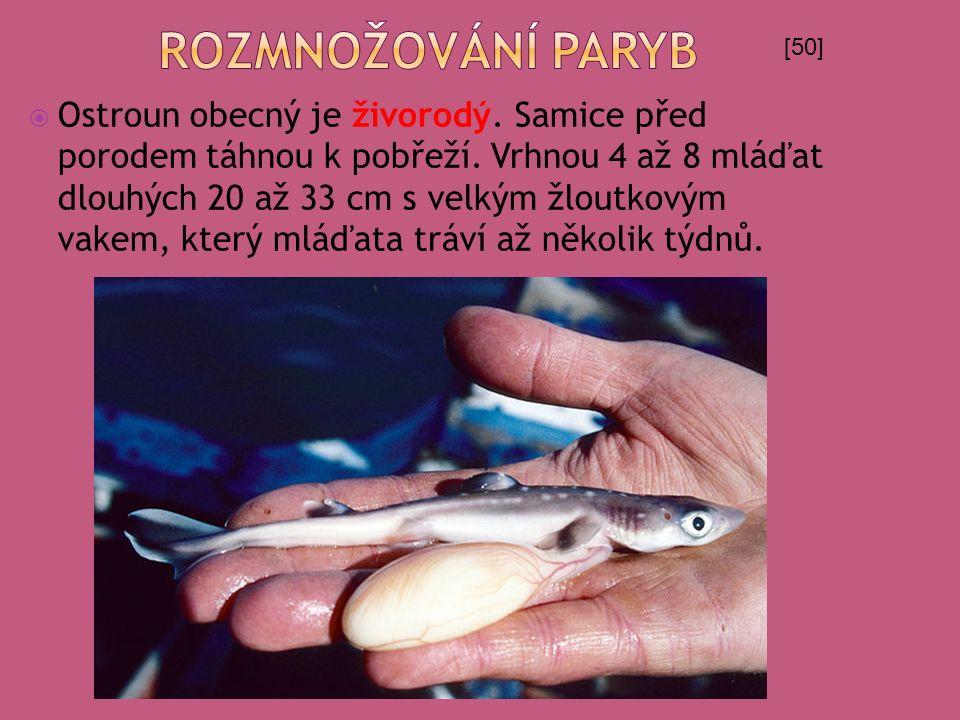  Ostroun obecný je živorodý. Samice před porodem táhnou k pobřeží. Vrhnou 4 až 8 mláďat dlouhých 20 až 33 cm s velkým žloutkovým vakem, který mláďata