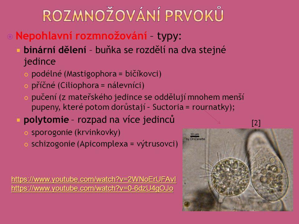  Nepohlavní rozmnožování – typy:  binární dělení – buňka se rozdělí na dva stejné jedince podélné (Mastigophora = bičíkovci) příčné (Ciliophora = nálevníci) pučení (z mateřského jedince se oddělují mnohem menší pupeny, které potom dorůstají – Suctoria = rournatky);  polytomie – rozpad na více jedinců sporogonie (krvinkovky) schizogonie (Apicomplexa = výtrusovci) [2] https://www.youtube.com/watch v=2WNoErUFAvI https://www.youtube.com/watch v=0-6dzU4gOJo