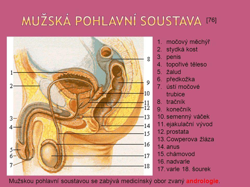 [76] 1.močový měchýř 2.stydká kost 3.penis 4.topořivé těleso 5.žalud 6.předkožka 7.ústí močové trubice 8.tračník 9.konečník 10.semenný váček 11.ejakulační vývod 12.prostata 13.Cowperova žláza 14.anus 15.chámovod 16.nadvarle 17.varle 18.