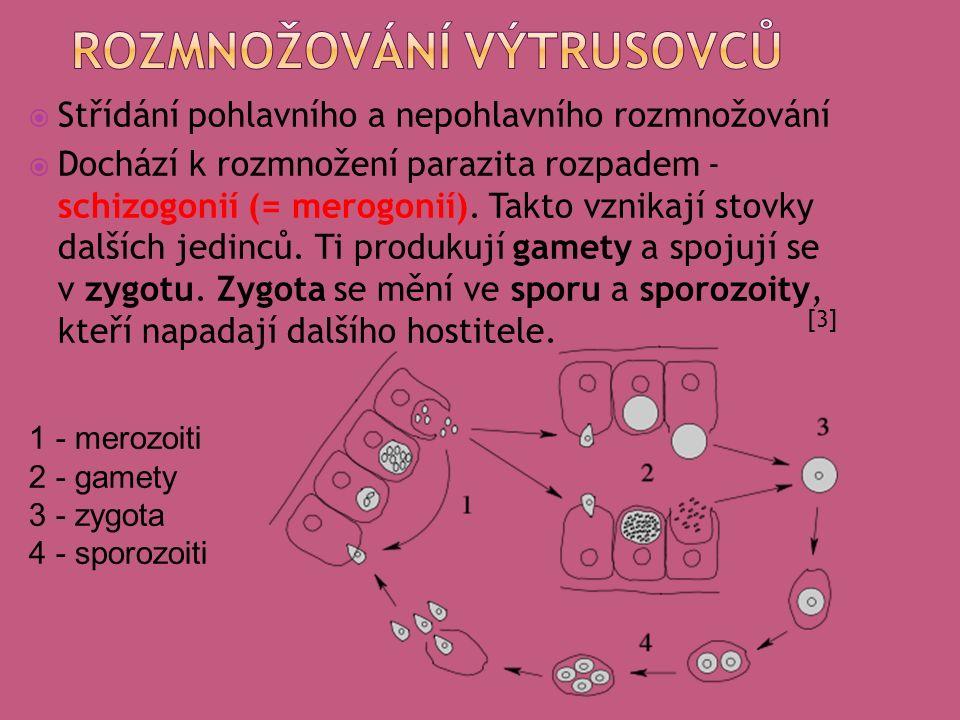  Střídání pohlavního a nepohlavního rozmnožování  Dochází k rozmnožení parazita rozpadem - schizogonií (= merogonií).