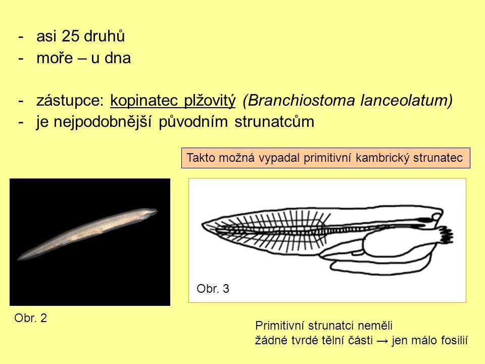 -asi 25 druhů -moře – u dna -zástupce: kopinatec plžovitý (Branchiostoma lanceolatum) -je nejpodobnější původním strunatcům Obr.