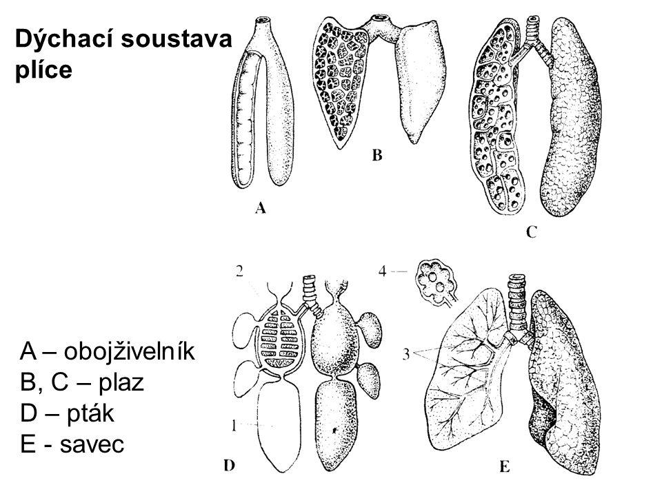 Dýchací soustava plíce A – obojživelník B, C – plaz D – pták E - savec