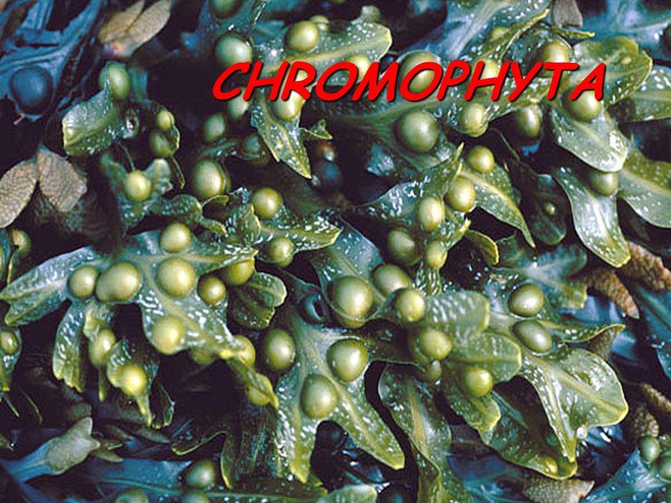 Xanthophyceae § stélka sifonální, monádoidní, kokální § pigmenty: chlorofyl a, c; heteroxantin, diadinoxantin, vaucheriaxantin § chybí fukoxantin .