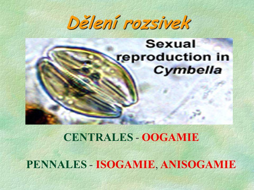 Dělení rozsivek Nepohlavně - běžné; každá dceřiná buňka si ponechá 1 misku schránky - ta je budoucí epivalvou.