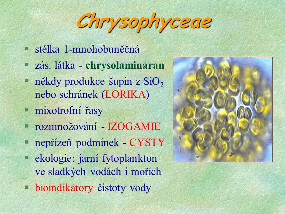 Rozmnožování gametofytusporofytu  střídání gametofytu a sporofytu § tvorba pohyblivých samčích androgamet se 2 bičíky a nepohyblivých samičích pohlavních buněk § zygota ihned klíčí ve sporofyt feromonů § účast feromonů na pohl.