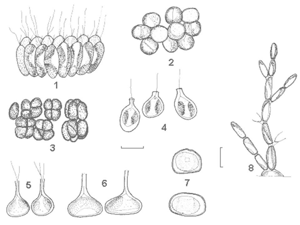 Chrysophyceae - systém Řád: Ochromonadales Ochromonas - discobolocysty; rašelinné tůně Synura - kolonie bičíkovců, křemité šupiny Dinobryon - celulózní lorika, rybníky