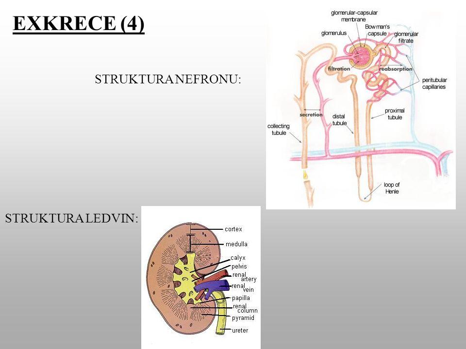 EXKRECE (4) STRUKTURA LEDVIN: STRUKTURA NEFRONU: