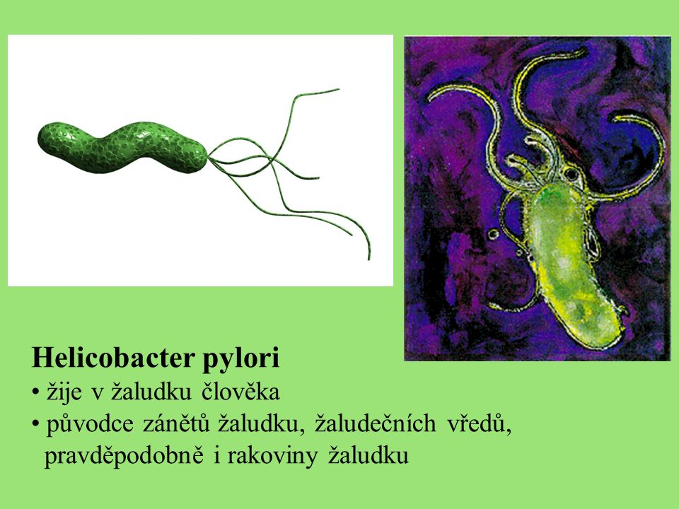 Helicobacter pylori žije v žaludku člověka původce zánětů žaludku, žaludečních vředů, pravděpodobně i rakoviny žaludku