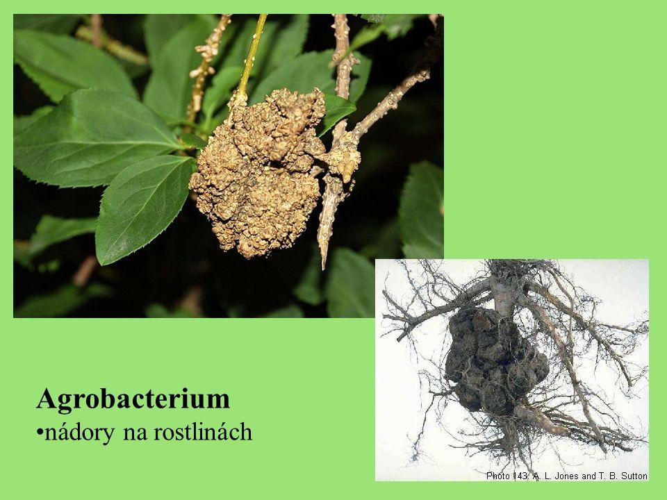 Agrobacterium nádory na rostlinách