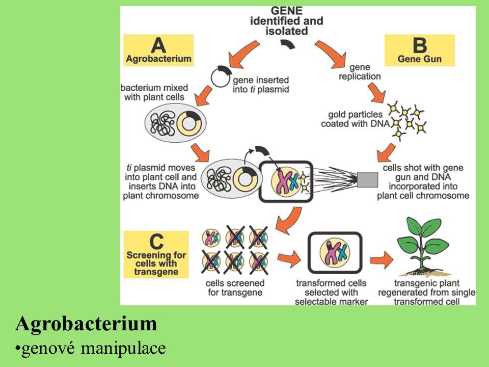 Agrobacterium genové manipulace
