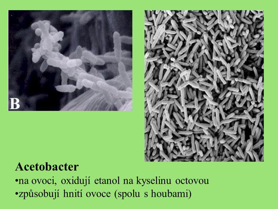 Acetobacter na ovoci, oxidují etanol na kyselinu octovou způsobují hnití ovoce (spolu s houbami)