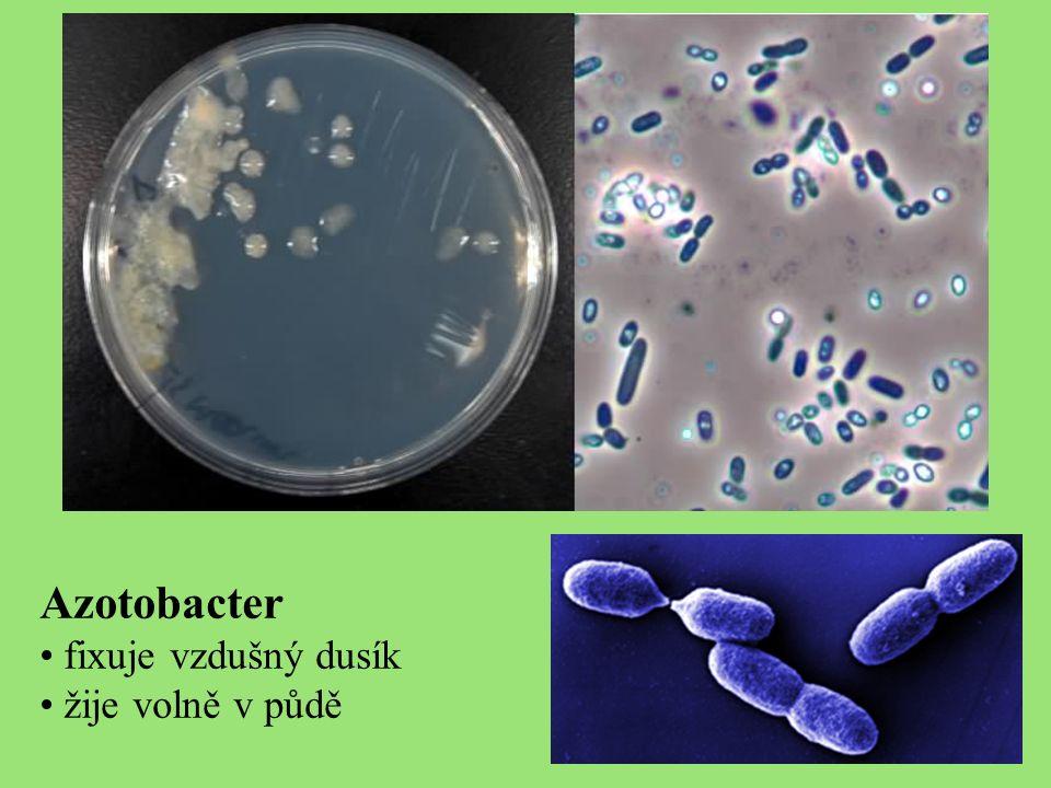 Azotobacter fixuje vzdušný dusík žije volně v půdě