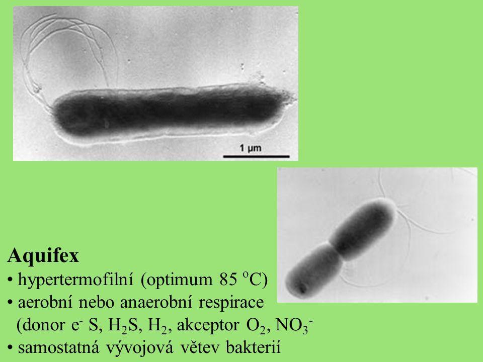 Aquifex hypertermofilní (optimum 85 o C) aerobní nebo anaerobní respirace (donor e - S, H 2 S, H 2, akceptor O 2, NO 3 - samostatná vývojová větev bakterií