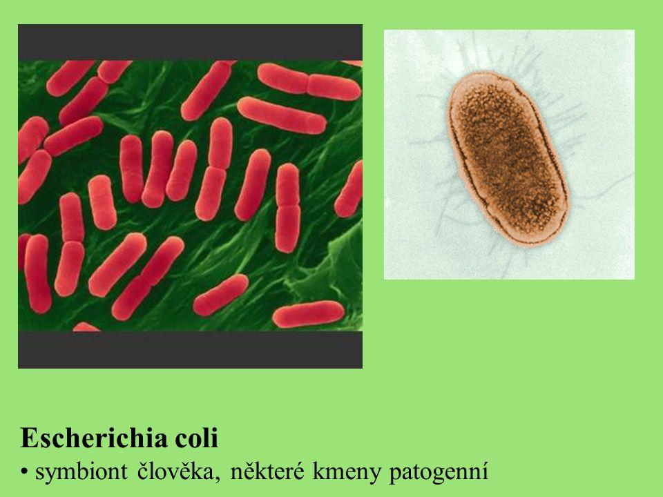 Escherichia coli symbiont člověka, některé kmeny patogenní