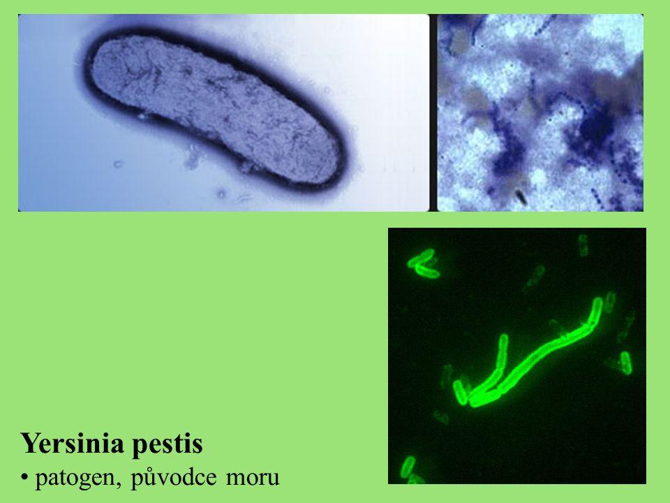 Yersinia pestis patogen, původce moru