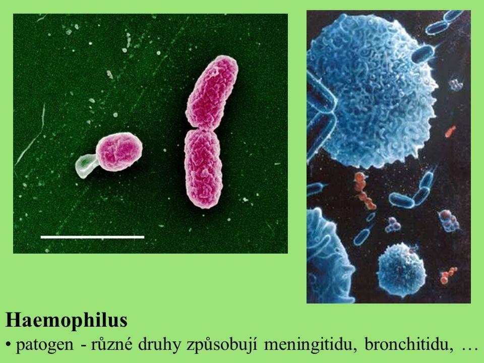 Haemophilus patogen - různé druhy způsobují meningitidu, bronchitidu, …