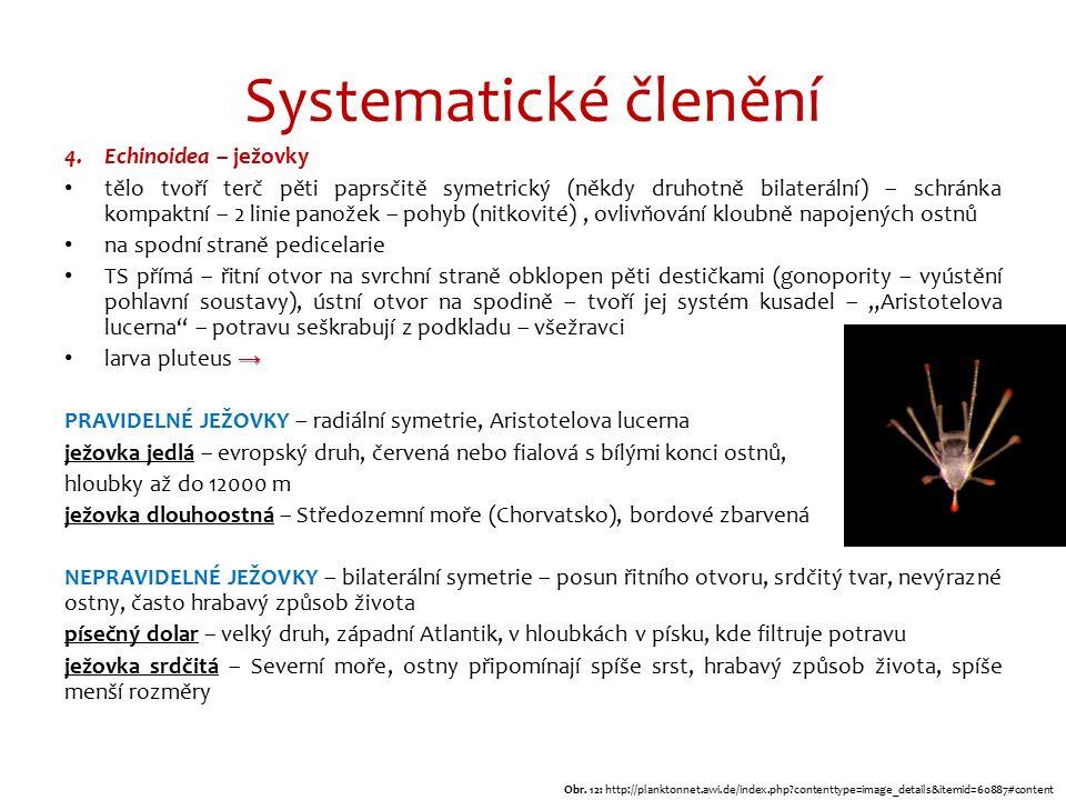 """Systematické členění 4.Echinoidea – ježovky tělo tvoří terč pěti paprsčitě symetrický (někdy druhotně bilaterální) – schránka kompaktní – 2 linie panožek – pohyb (nitkovité), ovlivňování kloubně napojených ostnů na spodní straně pedicelarie TS přímá – řitní otvor na svrchní straně obklopen pěti destičkami (gonopority – vyústění pohlavní soustavy), ústní otvor na spodině – tvoří jej systém kusadel – """"Aristotelova lucerna – potravu seškrabují z podkladu – všežravci → larva pluteus → PRAVIDELNÉ JEŽOVKY – radiální symetrie, Aristotelova lucerna ježovka jedlá – evropský druh, červená nebo fialová s bílými konci ostnů, hloubky až do 12000 m ježovka dlouhoostná – Středozemní moře (Chorvatsko), bordové zbarvená NEPRAVIDELNÉ JEŽOVKY – bilaterální symetrie – posun řitního otvoru, srdčitý tvar, nevýrazné ostny, často hrabavý způsob života písečný dolar – velký druh, západní Atlantik, v hloubkách v písku, kde filtruje potravu ježovka srdčitá – Severní moře, ostny připomínají spíše srst, hrabavý způsob života, spíše menší rozměry Obr."""