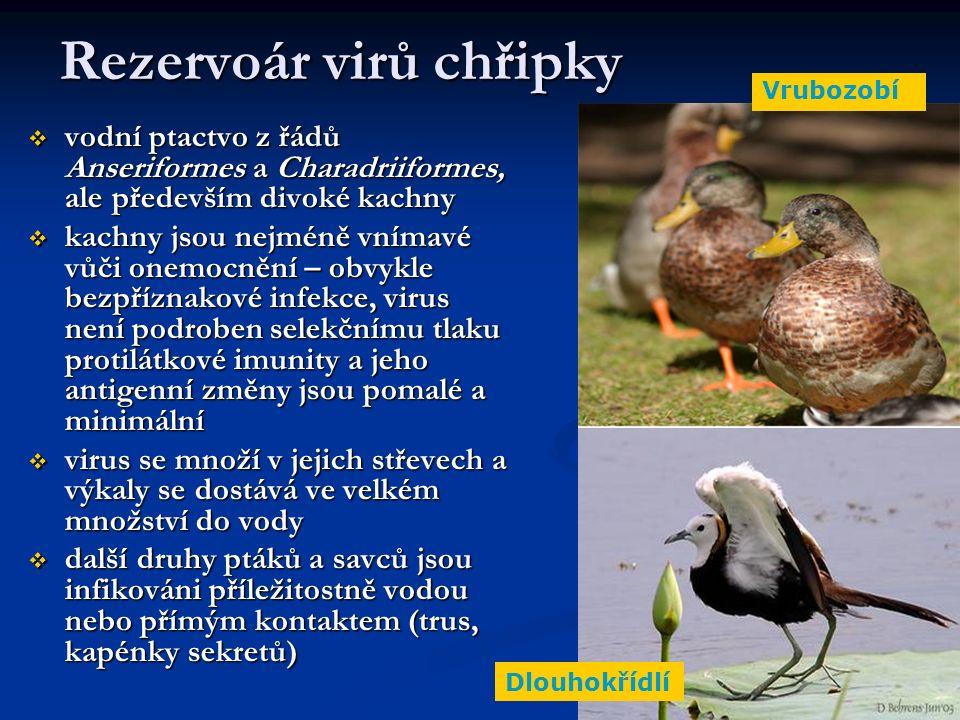 Rezervoár virů chřipky  vodní ptactvo z řádů Anseriformes a Charadriiformes, ale především divoké kachny  kachny jsou nejméně vnímavé vůči onemocnění – obvykle bezpříznakové infekce, virus není podroben selekčnímu tlaku protilátkové imunity a jeho antigenní změny jsou pomalé a minimální  virus se množí v jejich střevech a výkaly se dostává ve velkém množství do vody  další druhy ptáků a savců jsou infikováni příležitostně vodou nebo přímým kontaktem (trus, kapénky sekretů) Vrubozobí Dlouhokřídlí
