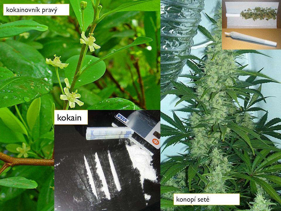 DROGY kokainovník pravý konopí seté kokain