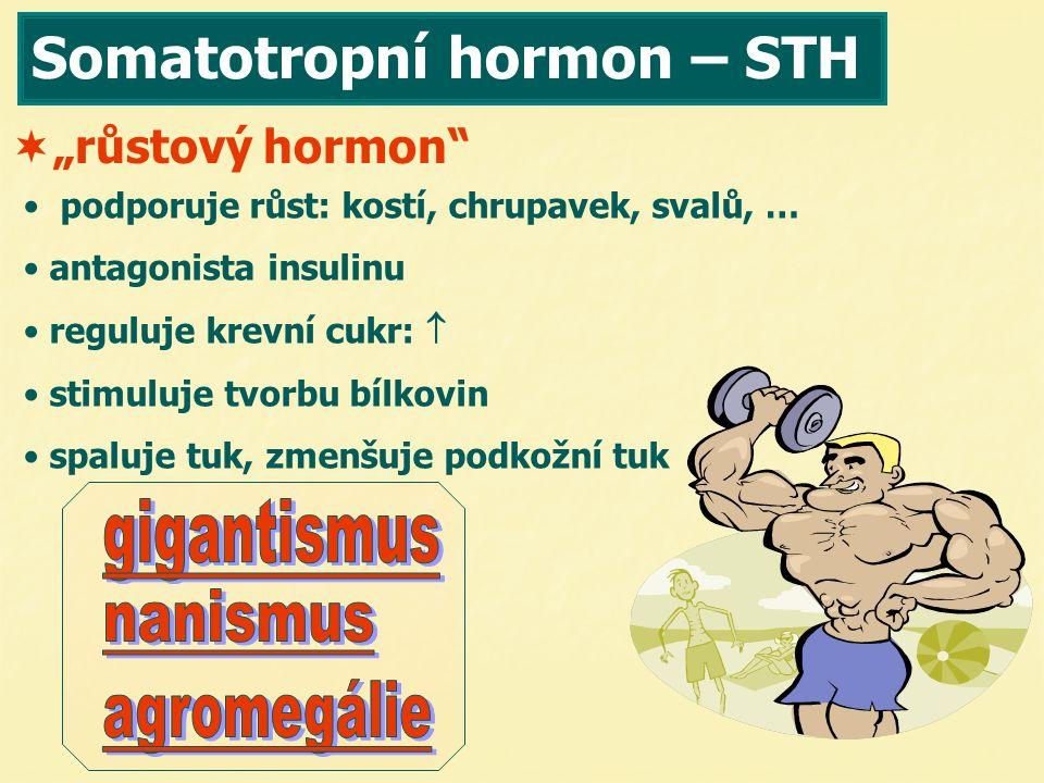 Somatotropní hormon – STH podporuje růst: kostí, chrupavek, svalů, … antagonista insulinu reguluje krevní cukr:  stimuluje tvorbu bílkovin spaluje tu
