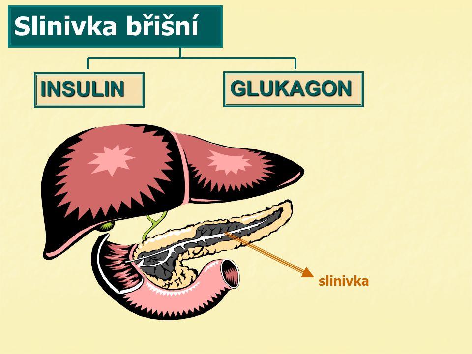 Slinivka břišní INSULIN GLUKAGON slinivka