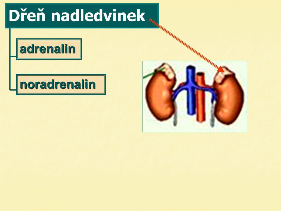 derivát tyrosinu antagonista insulinu krevní tlak odbourává glykogen  hladinu krevního cukru stahuje cévy v kůži, vliv na termoregulaci mobilizuje lipázu  v krvi více MK   glykogenolýzu ochlazení ochlazení  více adrenalinu  smrští se cévy smrští se cévy 