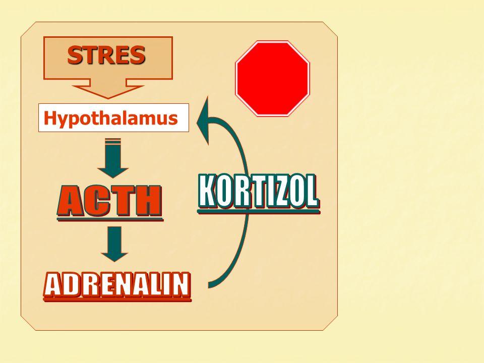 STRES STRES Hypothalamus
