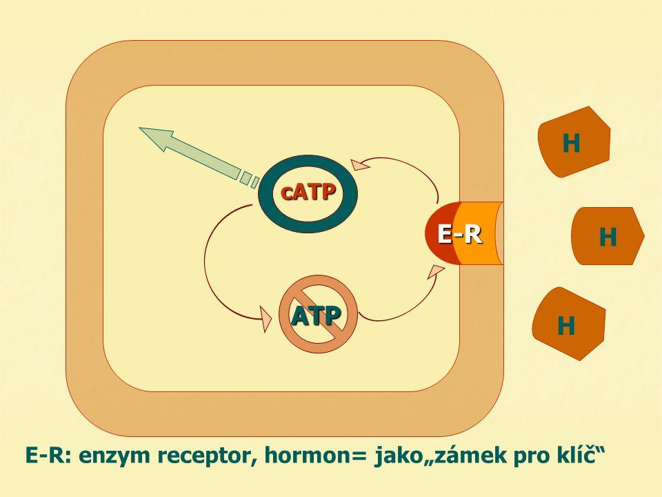 "H H H E-R E-R: enzym receptor, hormon= jako""zámek pro klíč"" ATP cATP"
