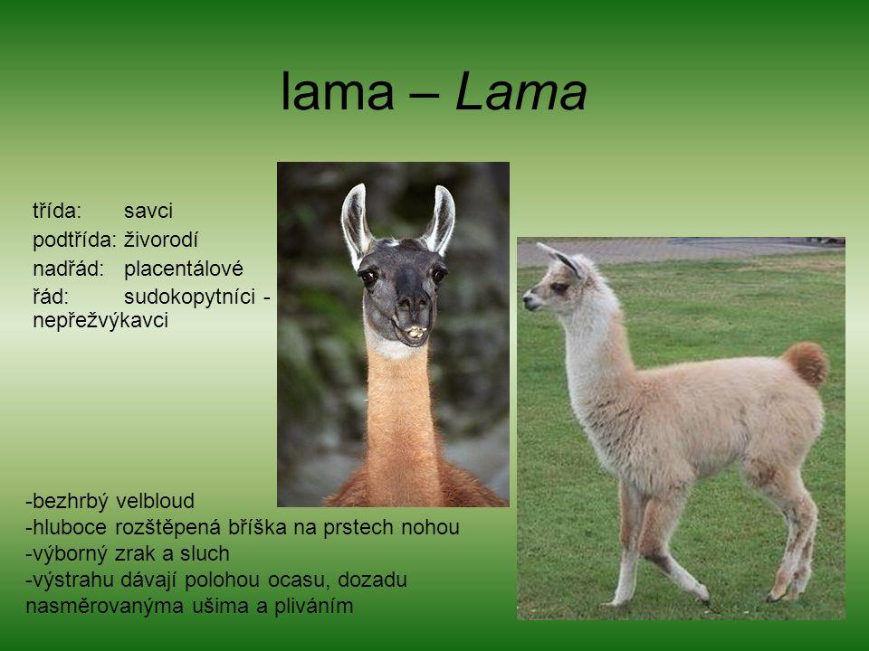 lama – Lama třída: savci podtřída: živorodí nadřád: placentálové řád: sudokopytníci - nepřežvýkavci -bezhrbý velbloud -hluboce rozštěpená bříška na prstech nohou -výborný zrak a sluch -výstrahu dávají polohou ocasu, dozadu nasměrovanýma ušima a pliváním