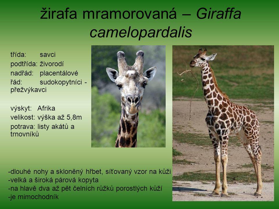 žirafa mramorovaná – Giraffa camelopardalis třída: savci podtřída: živorodí nadřád: placentálové řád: sudokopytníci - přežvýkavci výskyt: Afrika velikost: výška až 5,8m potrava: listy akátů a trnovníků -dlouhé nohy a skloněný hřbet, síťovaný vzor na kůži -velká a široká párová kopyta -na hlavě dva až pět čelních růžků porostlých kůží -je mimochodník