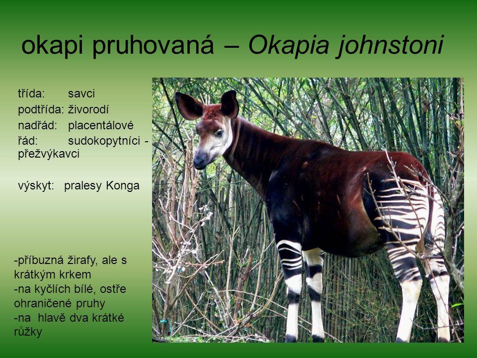 okapi pruhovaná – Okapia johnstoni třída: savci podtřída: živorodí nadřád: placentálové řád: sudokopytníci - přežvýkavci výskyt: pralesy Konga -příbuzná žirafy, ale s krátkým krkem -na kyčlích bílé, ostře ohraničené pruhy -na hlavě dva krátké růžky