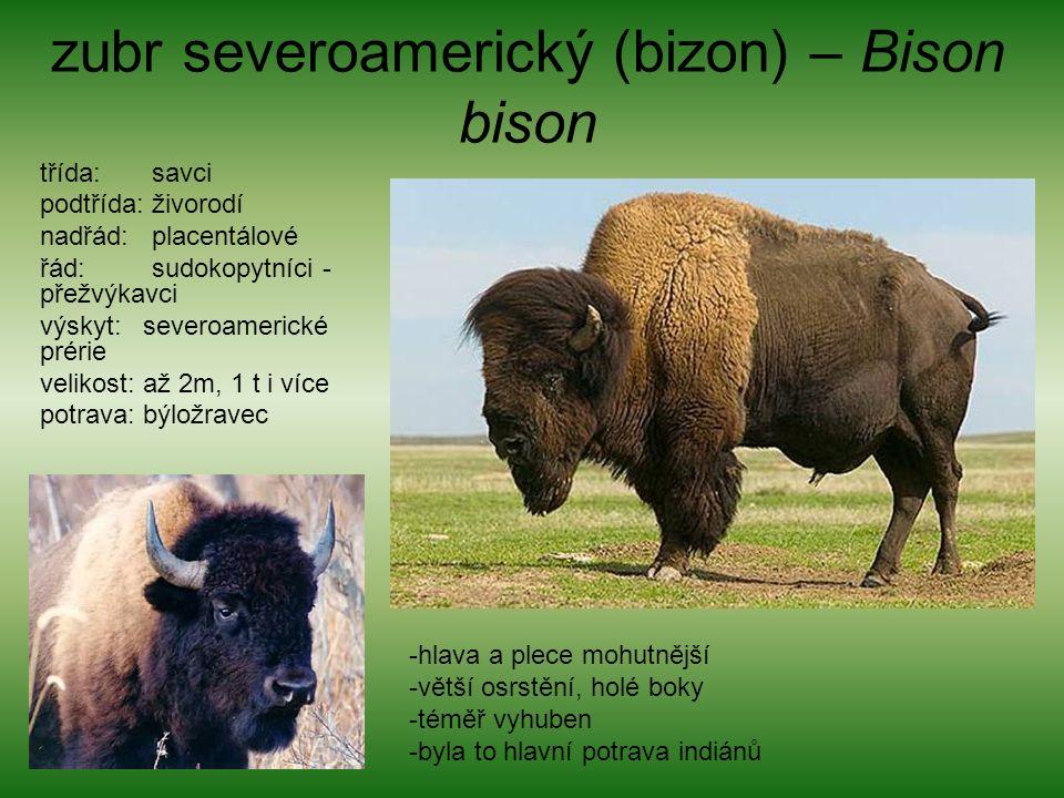 zubr severoamerický (bizon) – Bison bison třída: savci podtřída: živorodí nadřád: placentálové řád: sudokopytníci - přežvýkavci výskyt: severoamerické prérie velikost: až 2m, 1 t i více potrava: býložravec -hlava a plece mohutnější -větší osrstění, holé boky -téměř vyhuben -byla to hlavní potrava indiánů