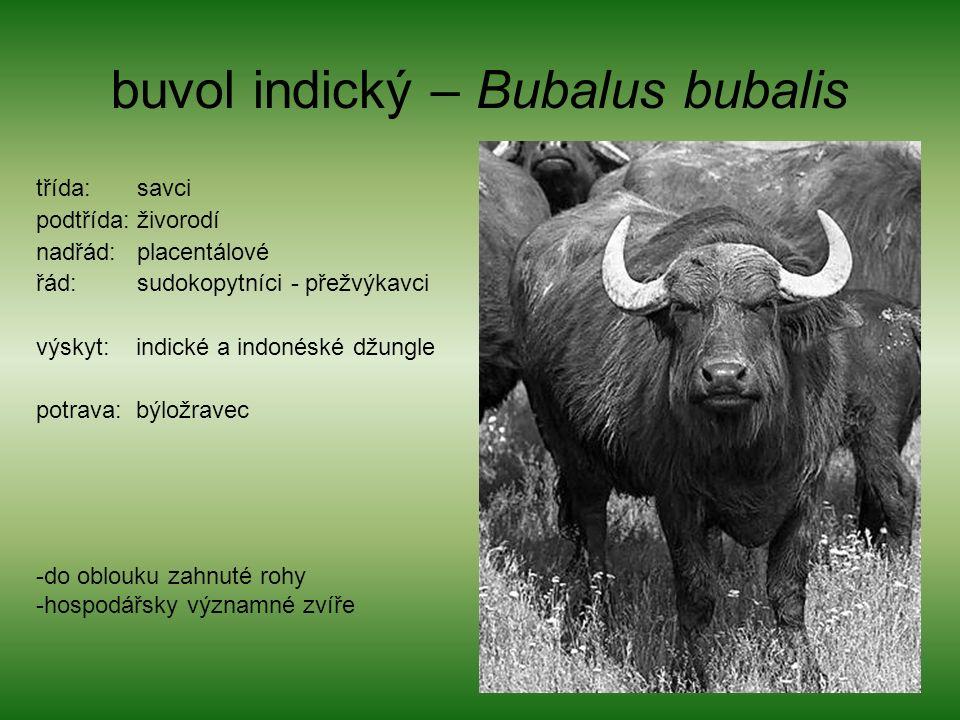 buvol indický – Bubalus bubalis třída: savci podtřída: živorodí nadřád: placentálové řád: sudokopytníci - přežvýkavci výskyt: indické a indonéské džungle potrava: býložravec -do oblouku zahnuté rohy -hospodářsky významné zvíře