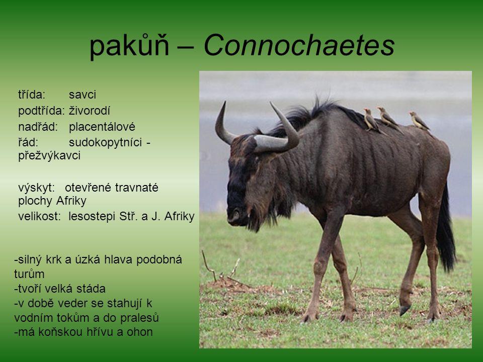 pakůň – Connochaetes třída: savci podtřída: živorodí nadřád: placentálové řád: sudokopytníci - přežvýkavci výskyt: otevřené travnaté plochy Afriky velikost: lesostepi Stř.