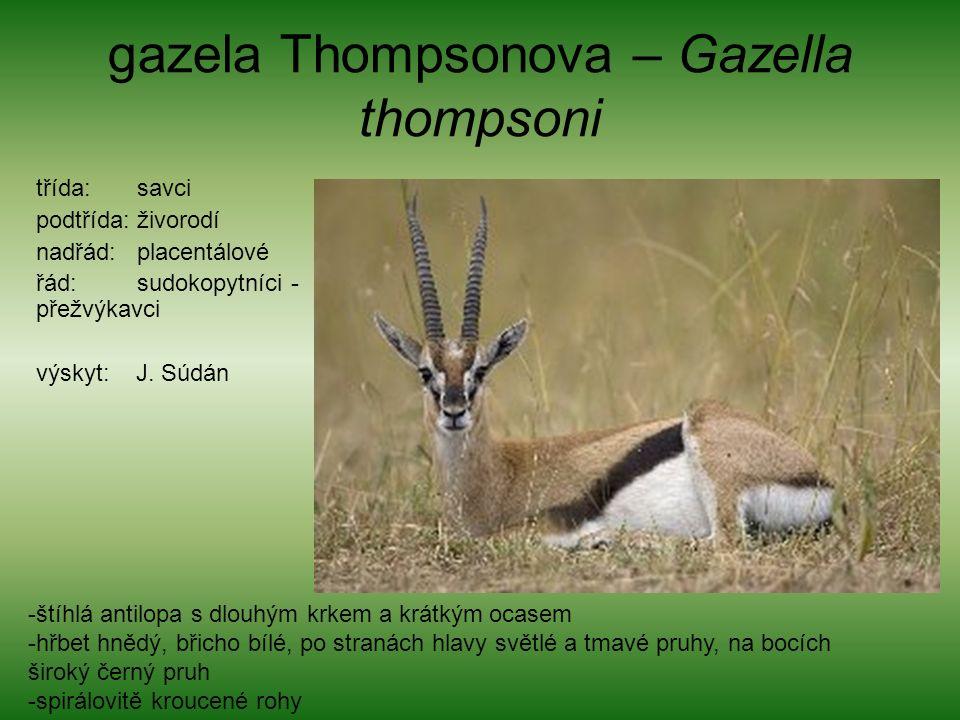 gazela Thompsonova – Gazella thompsoni třída: savci podtřída: živorodí nadřád: placentálové řád: sudokopytníci - přežvýkavci výskyt: J.
