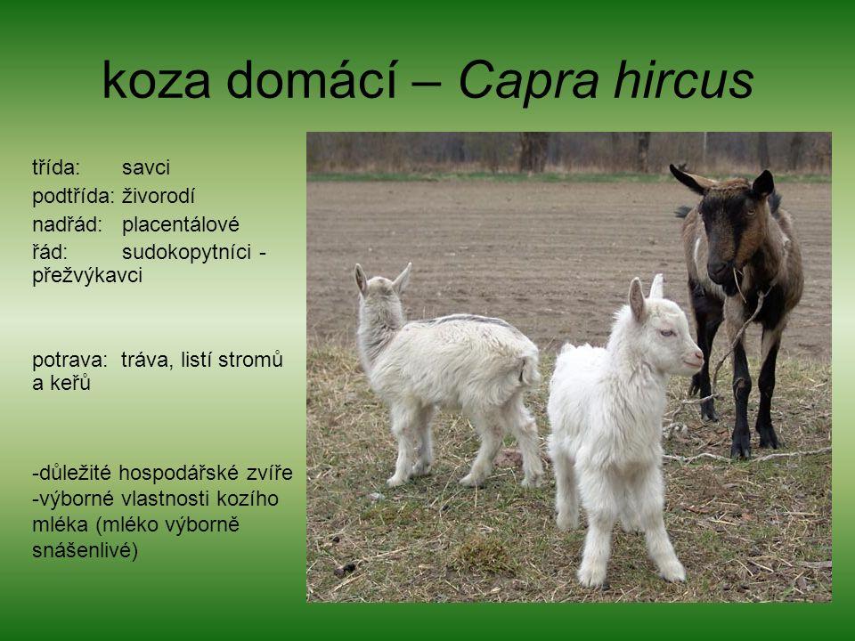 koza domácí – Capra hircus třída: savci podtřída: živorodí nadřád: placentálové řád: sudokopytníci - přežvýkavci potrava: tráva, listí stromů a keřů -důležité hospodářské zvíře -výborné vlastnosti kozího mléka (mléko výborně snášenlivé)