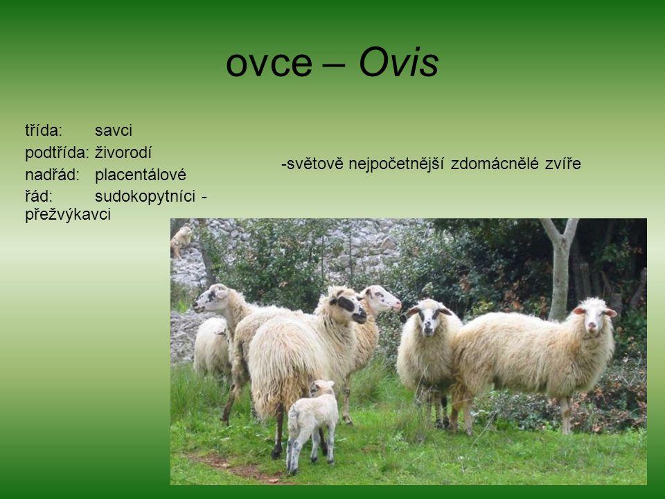 ovce – Ovis třída: savci podtřída: živorodí nadřád: placentálové řád: sudokopytníci - přežvýkavci -světově nejpočetnější zdomácnělé zvíře