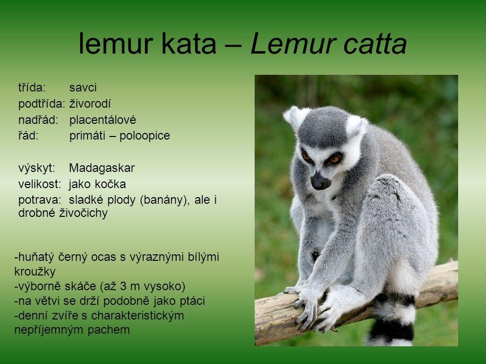 lemur kata – Lemur catta třída: savci podtřída: živorodí nadřád: placentálové řád: primáti – poloopice výskyt: Madagaskar velikost: jako kočka potrava: sladké plody (banány), ale i drobné živočichy -huňatý černý ocas s výraznými bílými kroužky -výborně skáče (až 3 m vysoko) -na větvi se drží podobně jako ptáci -denní zvíře s charakteristickým nepříjemným pachem