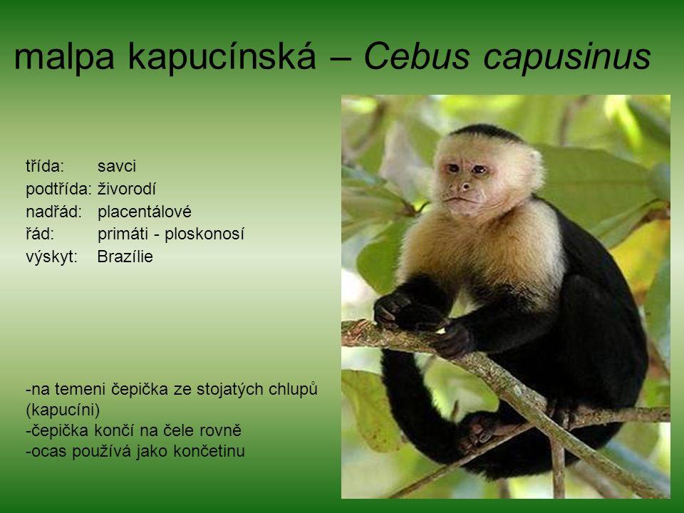 malpa kapucínská – Cebus capusinus třída: savci podtřída: živorodí nadřád: placentálové řád: primáti - ploskonosí výskyt: Brazílie -na temeni čepička ze stojatých chlupů (kapucíni) -čepička končí na čele rovně -ocas používá jako končetinu