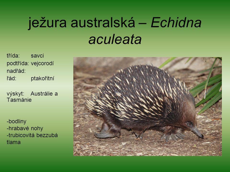 ježura australská – Echidna aculeata třída: savci podtřída: vejcorodí nadřád: řád: ptakořitní výskyt: Austrálie a Tasmánie -bodliny -hrabavé nohy -trubicovitá bezzubá tlama