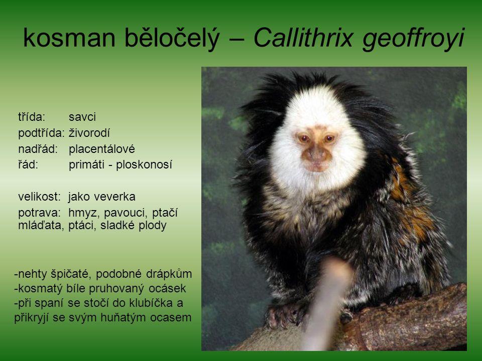 kosman běločelý – Callithrix geoffroyi třída: savci podtřída: živorodí nadřád: placentálové řád: primáti - ploskonosí velikost: jako veverka potrava: hmyz, pavouci, ptačí mláďata, ptáci, sladké plody -nehty špičaté, podobné drápkům -kosmatý bíle pruhovaný ocásek -při spaní se stočí do klubíčka a přikryjí se svým huňatým ocasem
