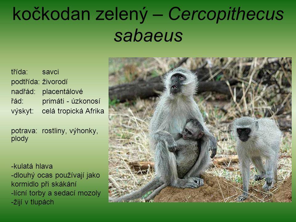 kočkodan zelený – Cercopithecus sabaeus třída: savci podtřída: živorodí nadřád: placentálové řád: primáti - úzkonosí výskyt: celá tropická Afrika potrava: rostliny, výhonky, plody -kulatá hlava -dlouhý ocas používají jako kormidlo při skákání -lícní torby a sedací mozoly -žijí v tlupách