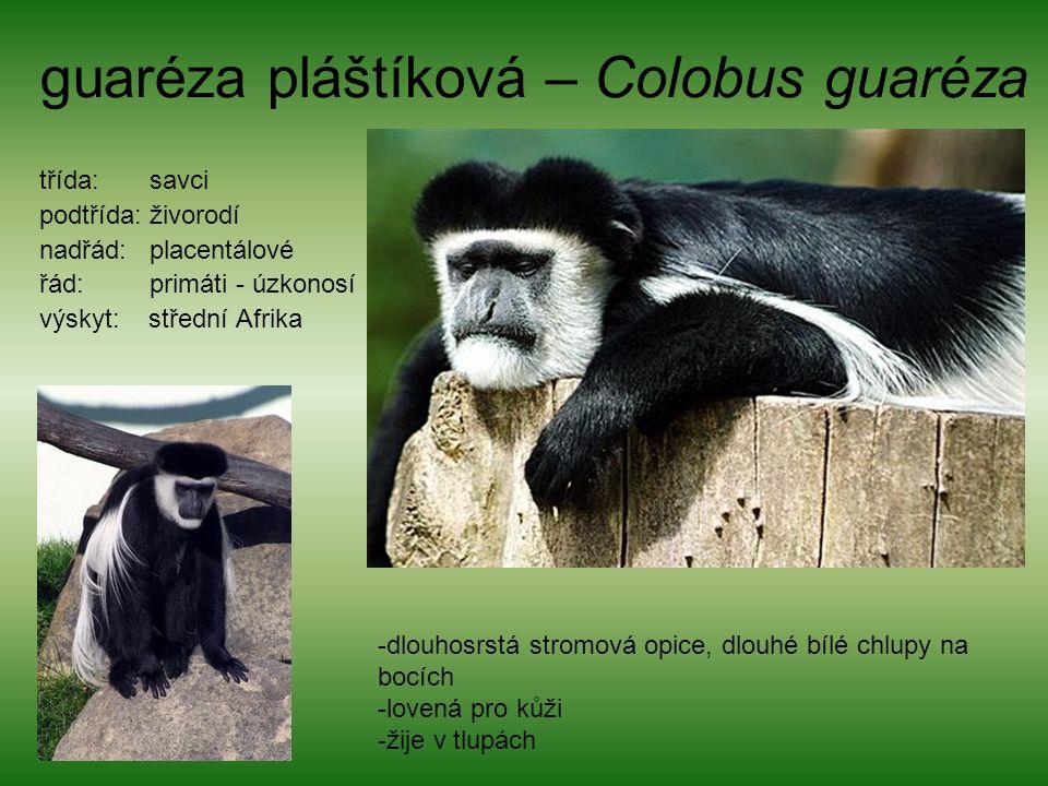 guaréza pláštíková – Colobus guaréza třída: savci podtřída: živorodí nadřád: placentálové řád: primáti - úzkonosí výskyt: střední Afrika -dlouhosrstá stromová opice, dlouhé bílé chlupy na bocích -lovená pro kůži -žije v tlupách